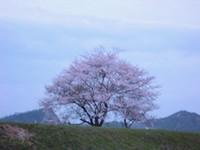 夕暮れの桜の木
