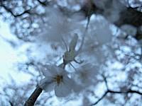 風に揺れる桜の花