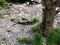 桜の根っこ近くに落ちた桜の花びら