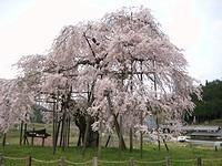 都しだれ(滋賀県甲賀市信楽町)