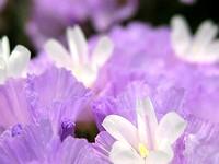 薄い紫のスターチス