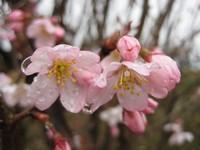 雨上がりの彼岸桜